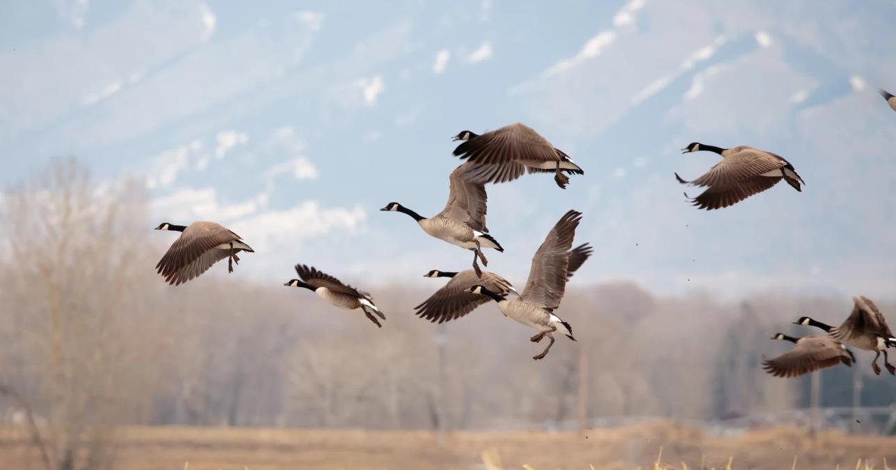 охота на утку в московской области