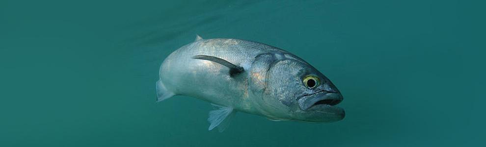 Луфаревые рыба фото