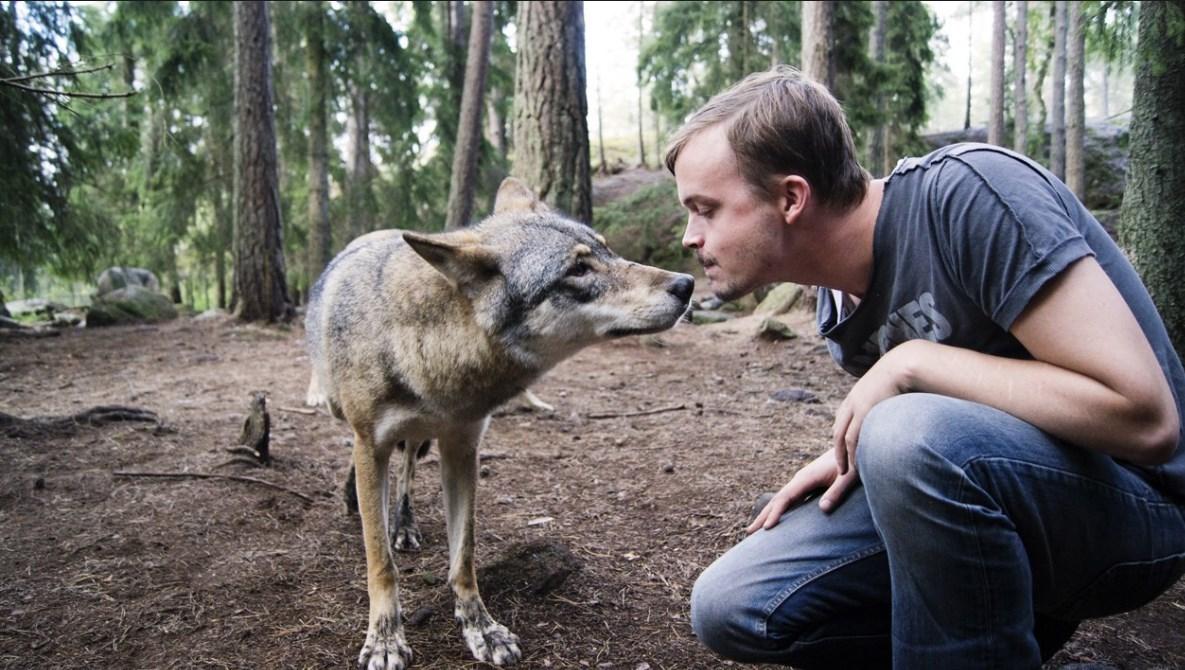 Что делать при встрече с волком